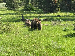 Mama bear and cubs, Grand Teton National Park