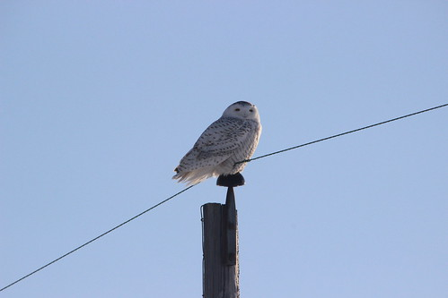 snowyowl owl michigan chippewacounty