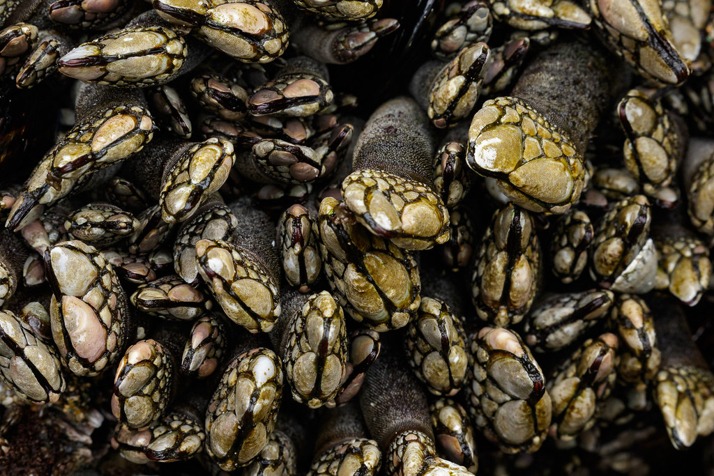 Goose barnacles crowd together in a tide pool
