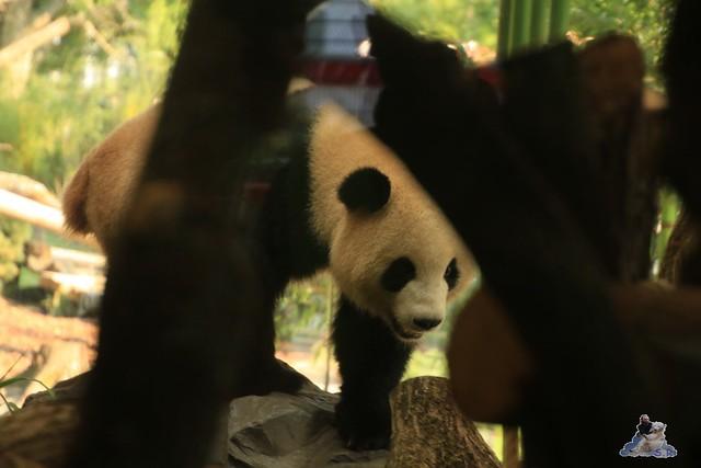 Panda Meng Meng und Jiao Qing im Berliner Zoo 065