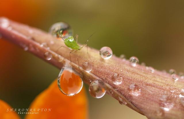little greenfly wm, Nikon D90, AF Micro-Nikkor 105mm f/2.8