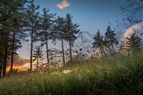 canoneos5dmarkiv daisy dayend evening sunset atardecer pine midland midmichigan mi rain raindrops rainpearls flower