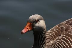 Goose portrait 2