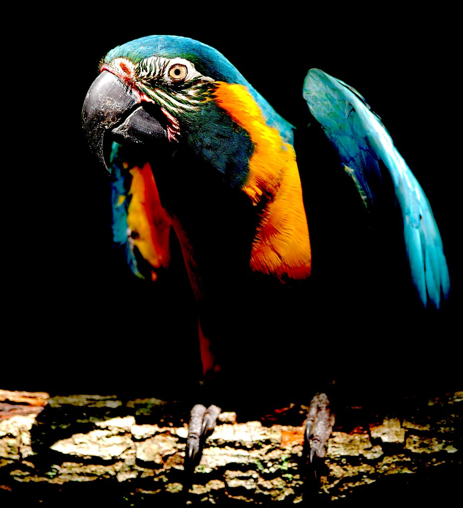 Blue Throated Macaw_4