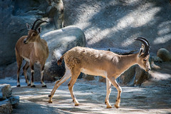 Nubian Ibex at the Los Angeles Zoo
