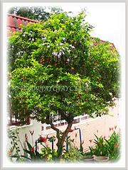 Attractive bush of Duranta erecta 'Geisha Girl' (Pigeon Berry, Golden Dewdrop, Skyflower), 6 May 2009