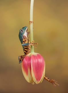 Tulip pendulum- Super tiger leg tree frog