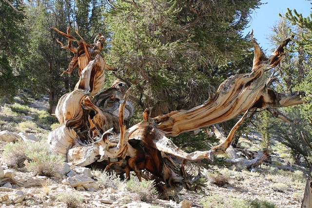 2756 Yet another amazingly gnarled bristlecone pine stump on the Methuselah Trail