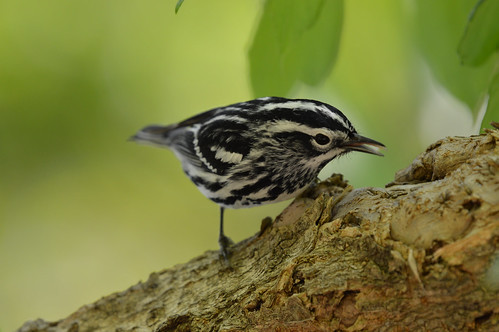 Black-and-white Warbler Magee 2017 8