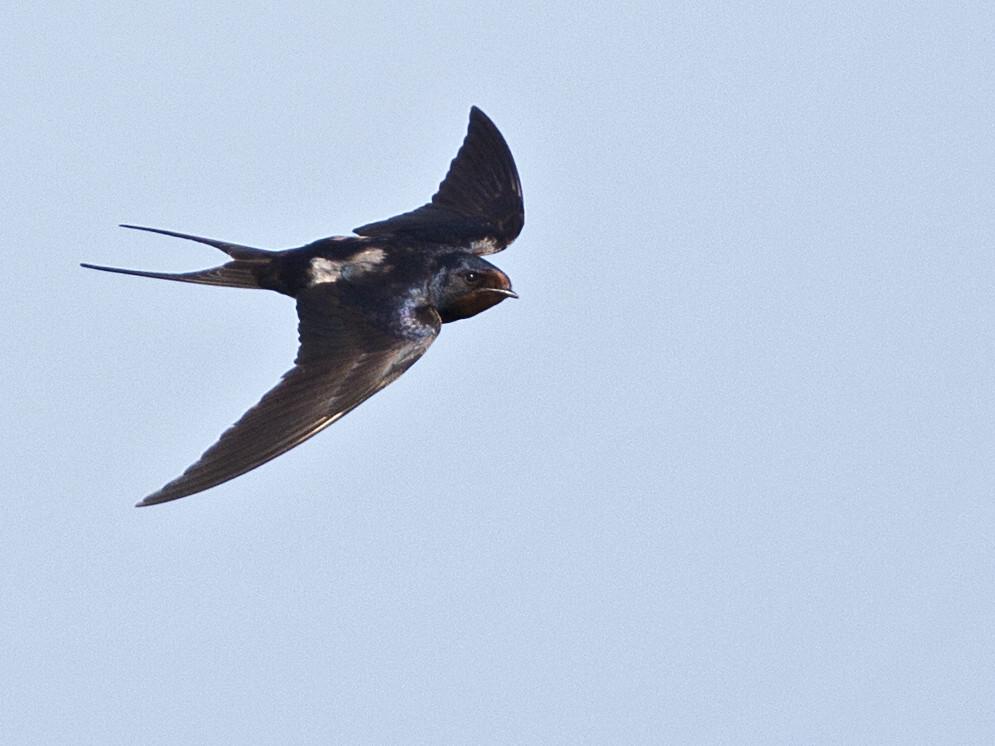 Barn Swallow Hirundo rustica