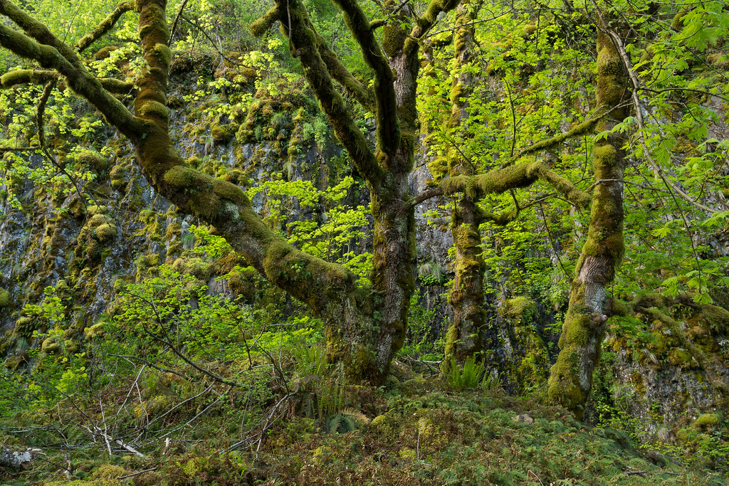 A view of green trees and moss and plants in the Columbia River Gorge