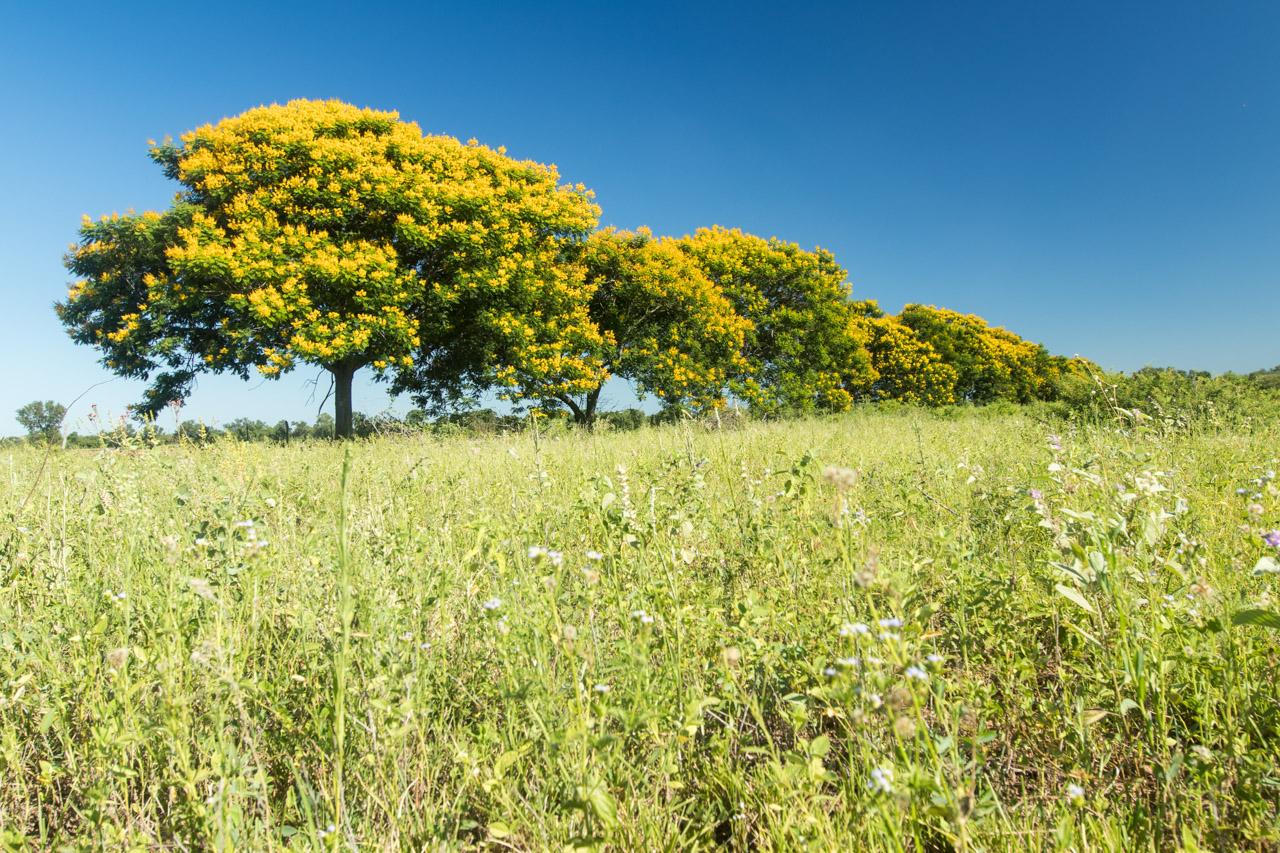 Azul y amarillo, en estos ejemplares de sivipurina (Caesalpinia pluviosa o Poincianella pluviosa), a la vera del camino. (Tetsu Espósito).