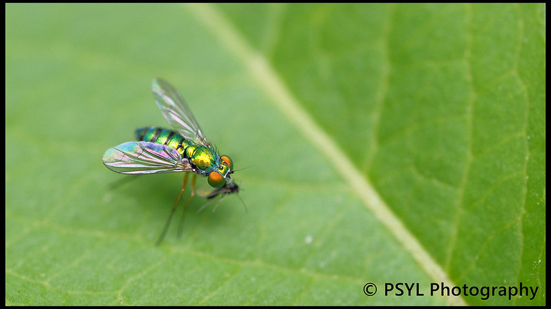 Chrysosoma fly
