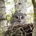 Great Grey Owl (Alexander Barclay)