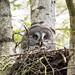 Great Grey Owl (Alexander Barclay)