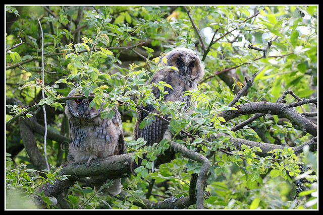 IMG_0127 Long-eared Owls