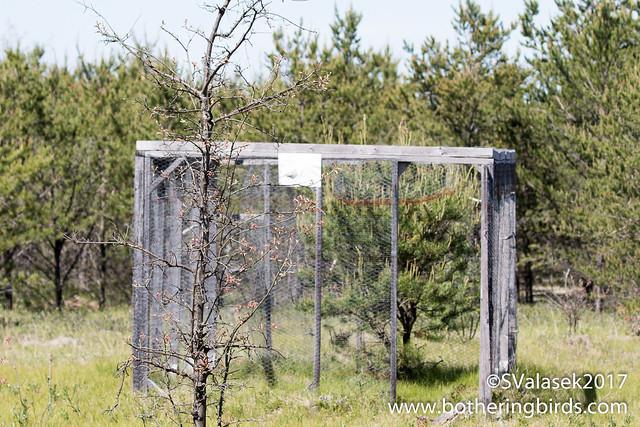 Cowbird trap