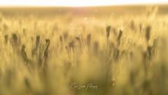 Wheat Glistens