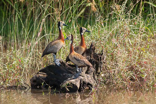 Siriri Pampa - Dendrocygna viduata - White-faced Whistling-Duck