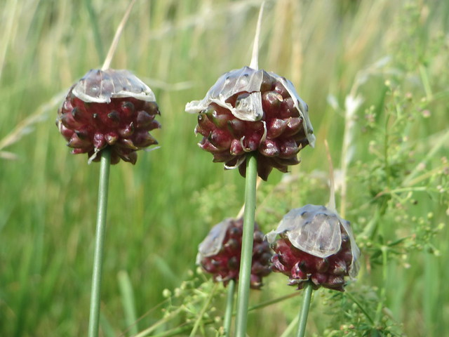Header of Allium Scorodoprasum