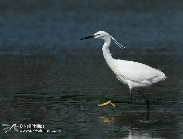 Little egret in West Looe River-6