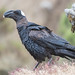 Thick-billed Raven (Tim Melling)