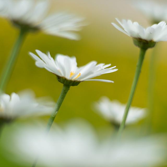 daisies 6392