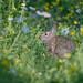 Rabbit-47463.jpg