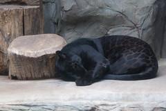 ZOO Olomouc - Jaguar (Panthera onca)