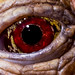 Small photo of Tortoise Eye