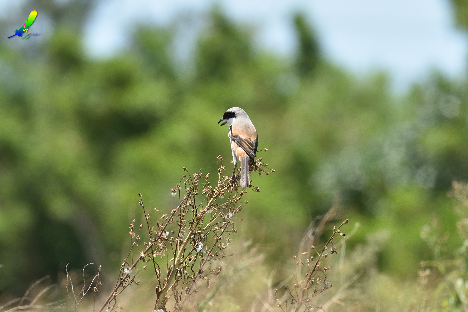 Long-tailed_Shrike_8579