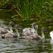 20170714 Wlk frm Clumber_0080 Swan~Six Cygnets~Clumber Lake