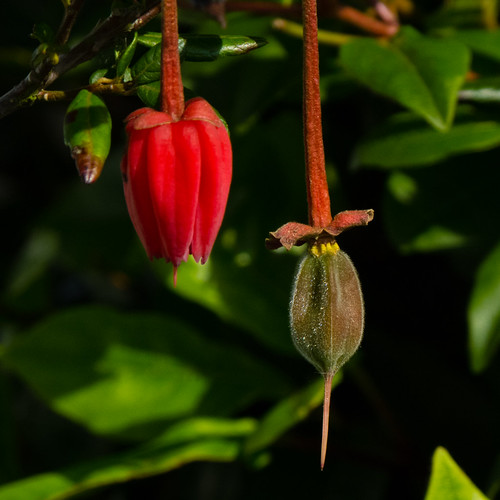 Chinese lantern tree flower