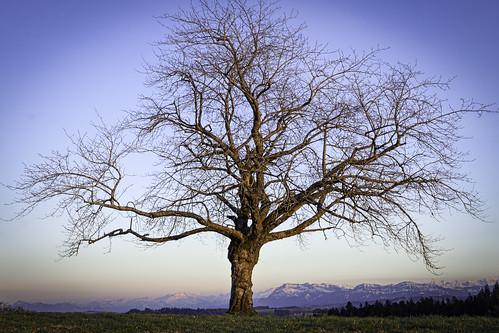 Hohwacht tree