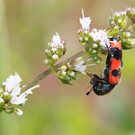 szalagos méhészbogár - Trichodes apiarius