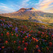Visual Glory Of All Wildflowers On Mt St Helens