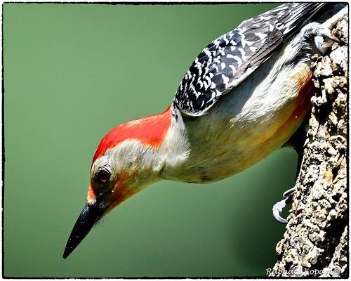 d500 14xtciii nikkor600f4evr raphaelkopanphotography ohio birdfeederblind