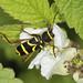 Wasp Longhorn Beetle - Clytus arietis