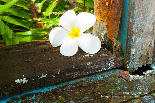 Pure white frangipani flower on rustic remains of windowsill of an abandoned home reverting to bush from inside. #white #FLOWER #frangipani #abandonedarchitecture #rustic #contrast #sonyphotography #sonycamera #sonyalphaclub #niuetravel #niueimage  #niuep