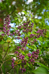 Syringa vulgaris in the shade