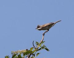White Throat Warbler