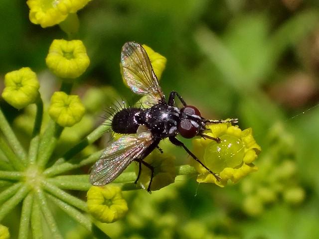 Knobbed Tongue. Black Flower Fly, Egle sp. (?), Anthomyiidae, on Foeniculum vulgare, Fennel, Gaasperplas, Amsterdam, The Netherlands