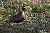 American Golden Plover (Pluvialis dominica)
