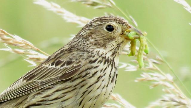Corn Bunting (Embiriza calandra)