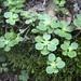 Sedum ternatum, Hillsdale Flower Refuge, Putnam County, Tennessee by Chuck Sutherland
