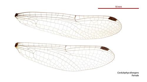 taxonomy:order=odonata wings hindwing odonata taxonomy:binomial=cordulephyadivergens clubbedshutwing cordulephyidae forewing cordulephya taxonomy:family=cordulephyidae australianmuseum dragonfly divergens cordulephyadivergens australia geo:country=australia anisoptera
