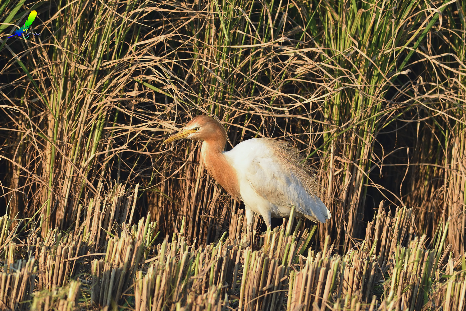 Cattle_Egret_0333