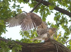 Tompkins Square fledglings