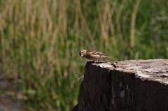 Dickelie Birds.