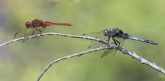Red veined darter and Black tail skimmer